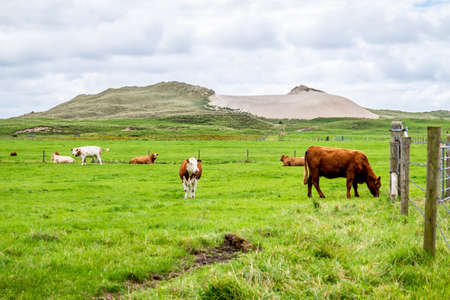 Cows and Cattle in fron of sand dune in County Donegal - Ireland Editorial