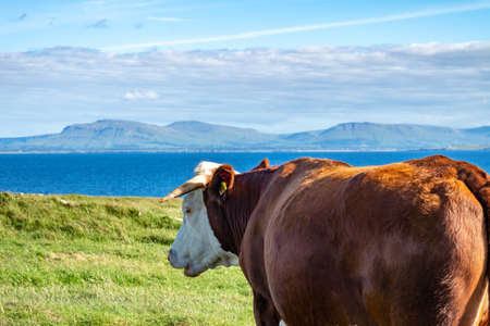 Cow at St Johns Point in County DOnegal - Ireland