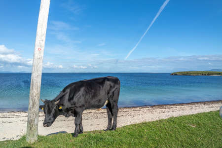 Cow at St Johns Point beach in County DOnegal - Ireland