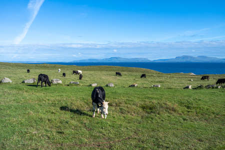 Cows at St Johns Point in County DOnegal - Ireland