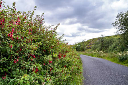 Fuchsia wildflower growing in County Donegal - Ireland Standard-Bild