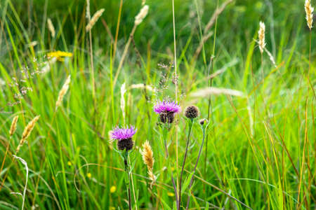 Thistle on a meadow in County Donegal - Ireland