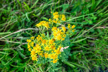 Sticky Groundsel,Senecio viscosus, growing on meadow in County Donegal - Ireland