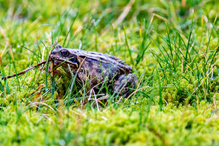 A common frog, Rana temporaria, hiding between the green gras and moss in Ireland 版權商用圖片