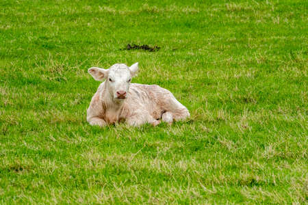 Small cute calf sleeping on the green meadow in Ireland