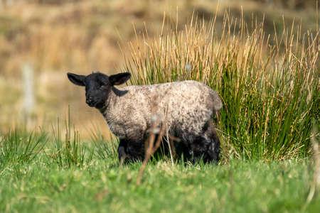 Freshly born cute lamb enjoying the pring sun in Ireland