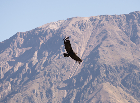 Flying condor over Colca canyon,Peru. Condor is the biggest flying bird on earth. Stock Photo