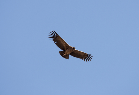 Flying condor over Colca canyon,Peru. Condor is the biggest flying bird on earth.