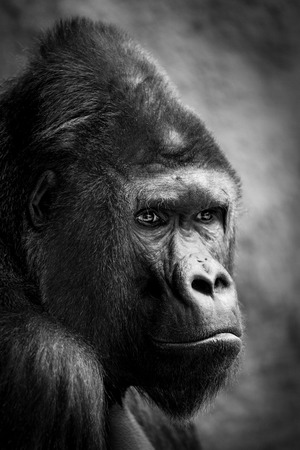 Portrait of a gorilla male - Prague Zoo
