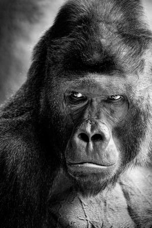 Retrato de un gorila macho - Zoológico de Praga Foto de archivo
