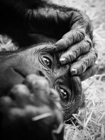 Black and white portrait of a young gorilla male. Stock Photo