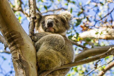 Kangaroo Island, Australia, South Australia- March 2016: The Koala (Phascolarctos cinereus) on eucalyptus tree. Today extremely endangered by Australian fires.