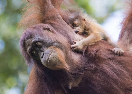 Kinabatangan river, Sabah, Malaysia- January 2019: Mother and baby (Pongo pygmaeus), species threatened with extinction due to oil palm.