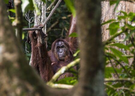 Sarawak, Malaysia- January 2019: Orangutan (Pongo pygmaeus), species threatened with extinction due to oil palm. Banque d'images
