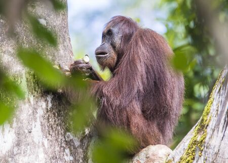Sarawak, Malaysia- January 2019: Orangutan (Pongo pygmaeus), species threatened with extinction due to oil palm. Banco de Imagens