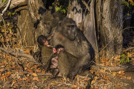 KULGER NATIONAL PARK, SOUTH AFRICA- JULY 2019: Chacma baboon family (Paplo ursinus) in african savanna.