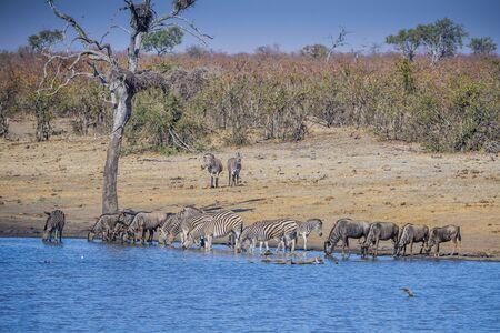 Kruger National Park, South Africa- JULY 2019: Zebras and wildebeests
