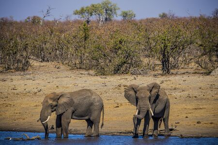 KULGER NATIONAL PARK, SOUTH AFRICA- JULY 2019: Couple of African Elephants (Loxodonta africana) at a waterhole.