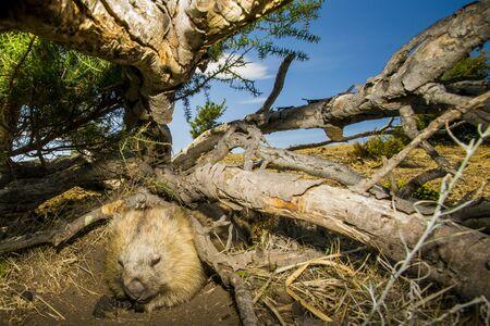 MARIA ISLAND, TASMANIA, AUSTRALIA- MARCH 2019: Wombat (Vombatus ursinus) sleeping in the Australian bush.