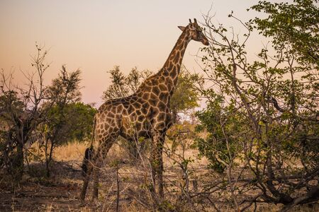 KULGER NATIONAL PARK, SOUTH AFRICA- JULY 2019: Giraffe (Giraffa camelopardalis), the tallest animal on earth, in african savanna.