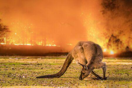 Kangaroo Island, Australia, South Australia- 2019: Kangaroo in the Australian bush during the bushfire.