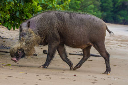 Bornean bearded pig in Bako National Park, Borneo, Malaysia