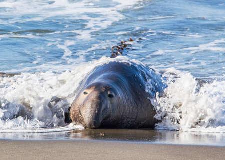 Bull Elephant Seal on San Simeon Beach - California