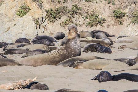 Bull Elephant Seal on San Simeon Beach - California.