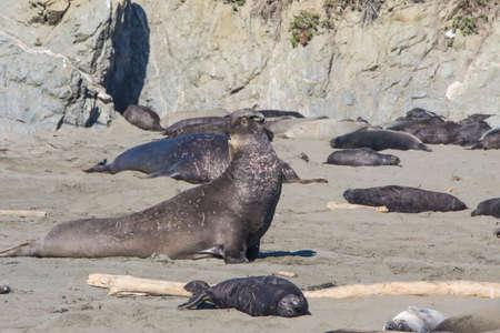 Bull Elephant Seal on San Simeon Beach - California. Banco de Imagens