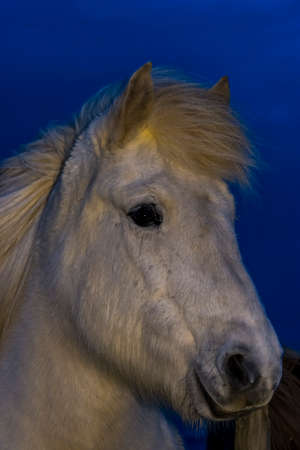 Icelandic Horse Portrait during Winter