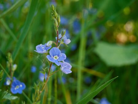 Forget-me-not in the meadow at sunny spirng day. Close-up photography Stock Photo