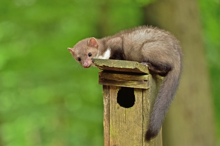 Marten in their natural habitat can hunt for a booth in the Czech forest Stock Photo