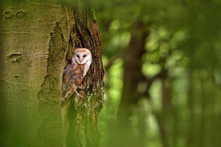 ocas: Owl in its natural environment in the hollow of a tree in the forest Czech Foto de archivo