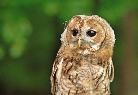 Owl in its natural habitat on the edge of the Bohemian Forest