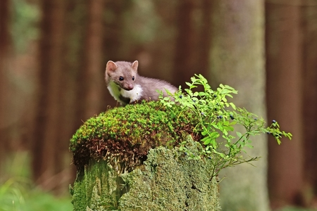 Marten in its natural environment in the Czech forest