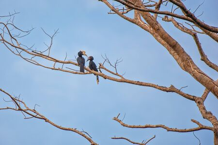 Hornbills in their typical environment