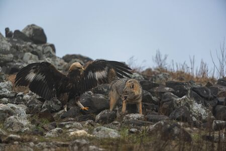 Wild fighting eagle and jackal.