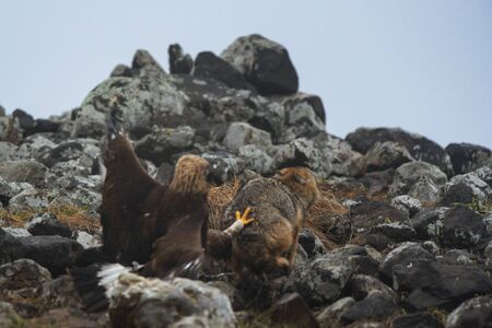 Wild fighting eagle and jackal. Imagens