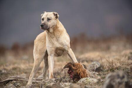 Wild dog guarding his prey. Imagens