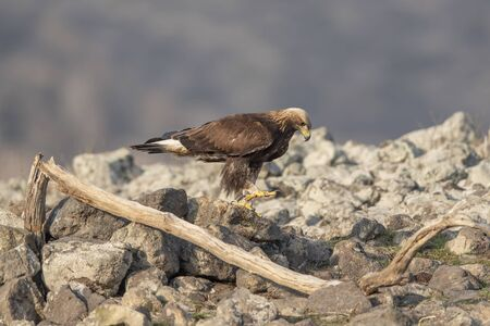 Eagle in mountains