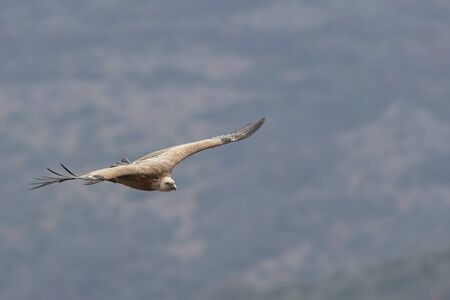 Flying vulture over the mountain land Imagens