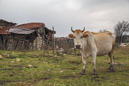 Cow next to a hut