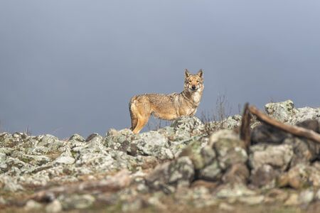 Wolf in the wild nature Imagens