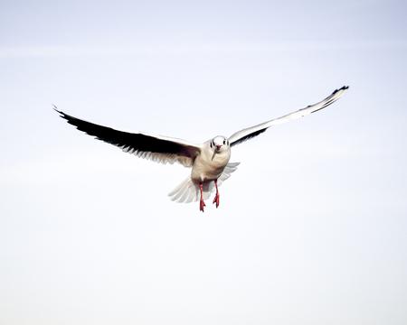 Laridae - seagull family birds Stock Photo