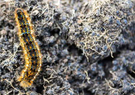 Caterpillar - black and orange and yellow caterpillar ready to turn into a butterfly