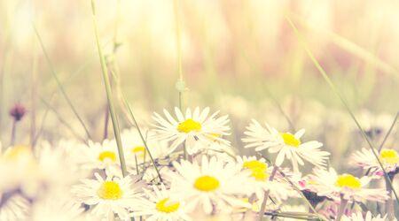 Romantic wild field of daisies with focus on one flower. Oxeye daisy, Leucanthemum vulgare, Daisies, Dox-eye, Common daisy, Dog daisy, Moon daisy, Camomile, Chamomile. Banco de Imagens - 130734571