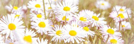 Romantic wild field of daisies with focus on one flower. Oxeye daisy, Leucanthemum vulgare, Daisies, Dox-eye, Common daisy, Dog daisy, Moon daisy, Camomile, Chamomile.