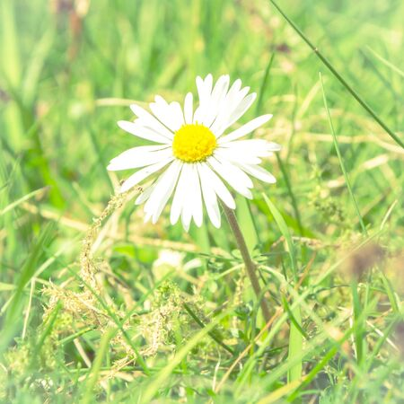 Romantic wild field of daisies with focus on one flower. Oxeye daisy, Leucanthemum vulgare, Daisies, Dox-eye, Common daisy, Dog daisy, Moon daisy, Camomile, Chamomile. Banco de Imagens - 130734593