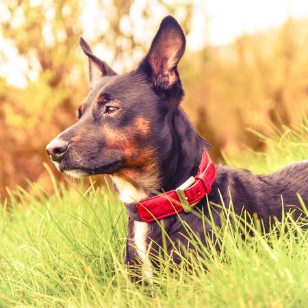 Portrait of a black dog with a red collar in a field