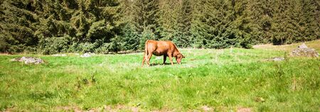 Brown cow grazing on the green field near a pine forest during a hot summer day in Poland